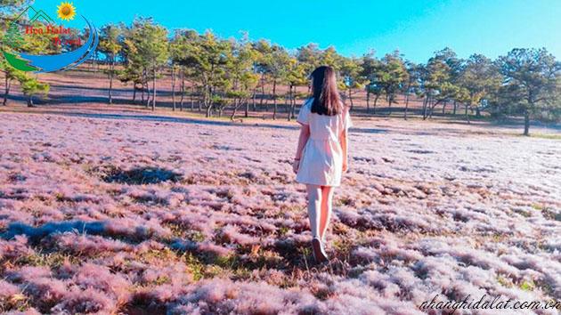 cánh đồng hoa cỏ tuyết Đà Lạt