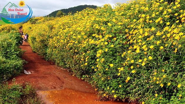 Cung đường ngắm hoa dã quỳ đẹp nhất