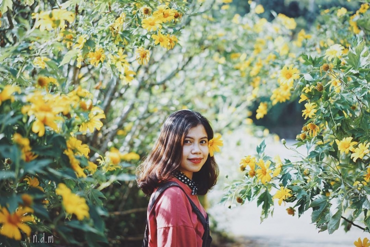 Hoa dã quỳ Đà Lạt tháng 10