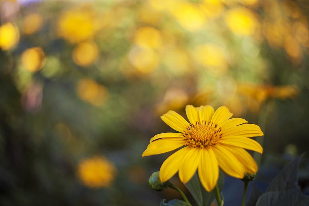 Ý nghĩa hoa dã quỳ Đà Lạt