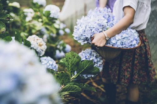 Địa chỉ vườn Hoa Cẩm Tú Cầu Đà Lạt