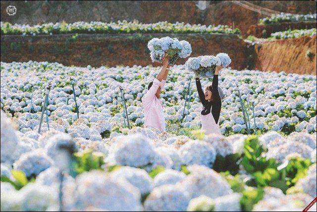 hoa cẩm tú cầu nở vào tháng mấy