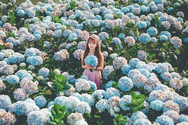 Vườn hoa cẫm tú cầu tp. Đà Lạt Lâm Đồng
