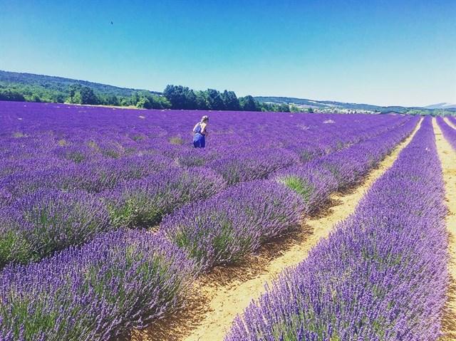 Vườn hoa Lavender cầu đất