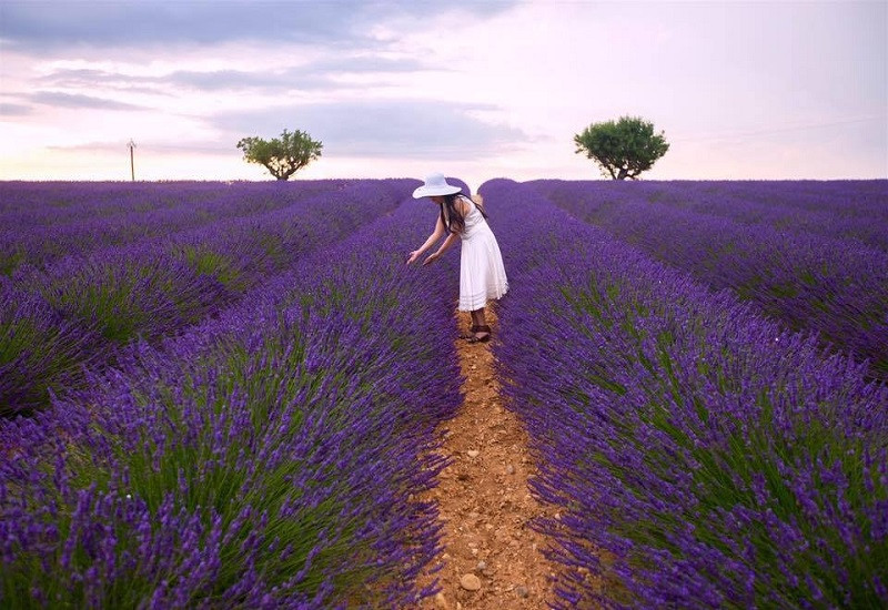Vườn hoa Lavender cầu đất Đà Lạt
