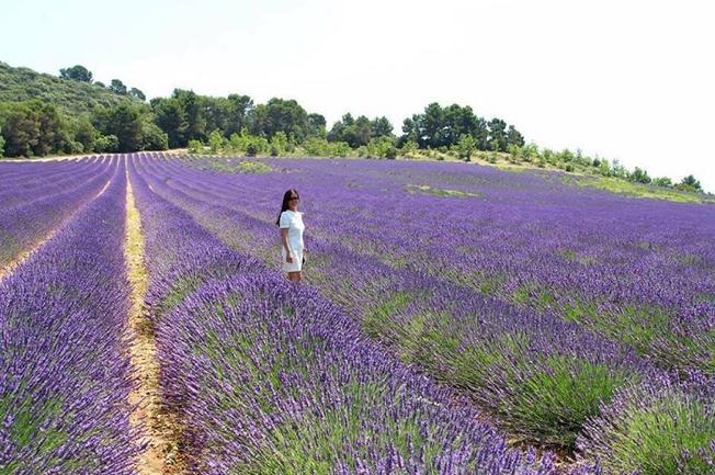 Vườn hoa Lavender Đà Lạt 2018