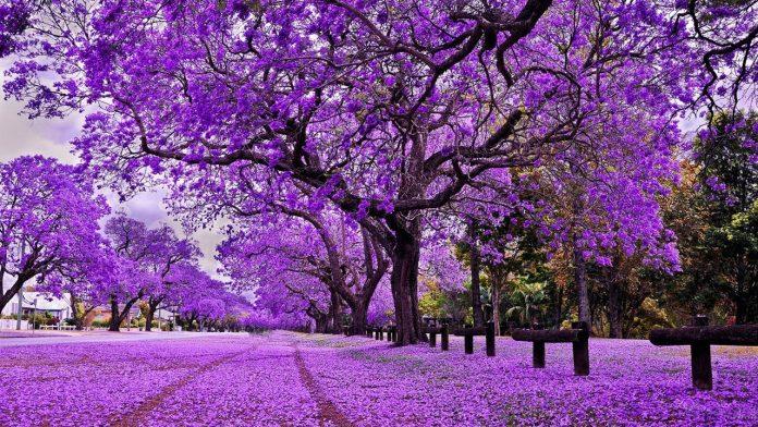 Những địa điểm ngắm hoa phượng tím Đà Lạt