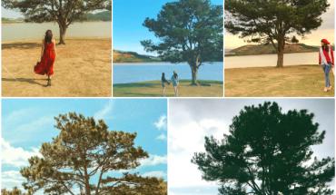 Check in cây thông cô đơn