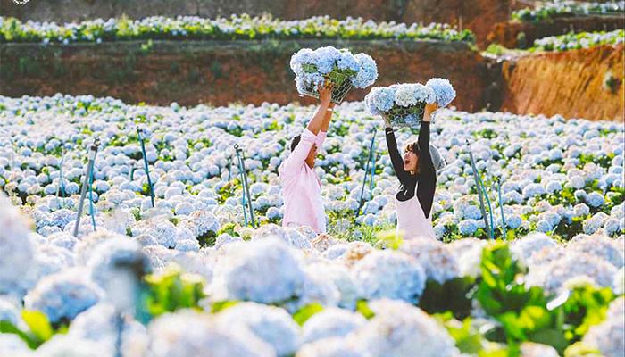 Hoa cẩm tú cầu ở Đà Lat