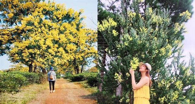 Hoa Mimosa ở Đà Lạt