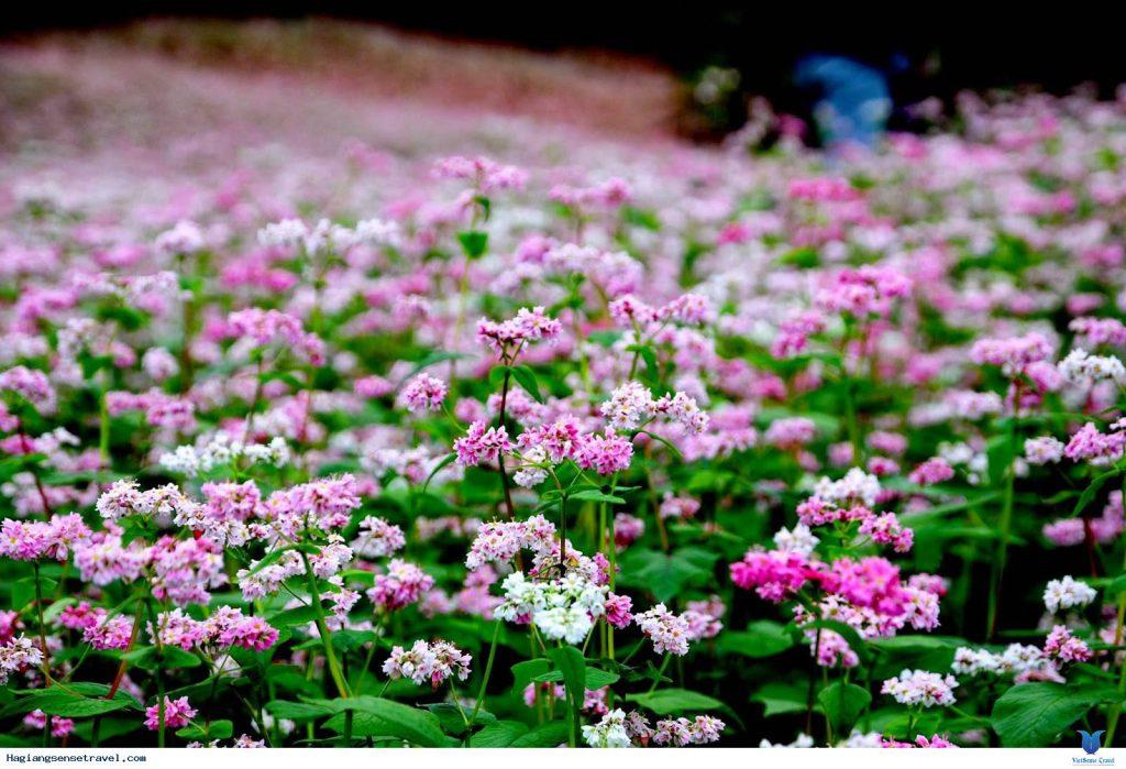 Hoa Tam Giác Mạch ở Đà Lạt