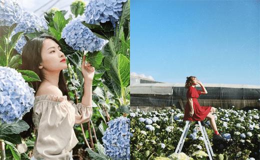 hoa cẩm tú cầu đà lạt tháng 4