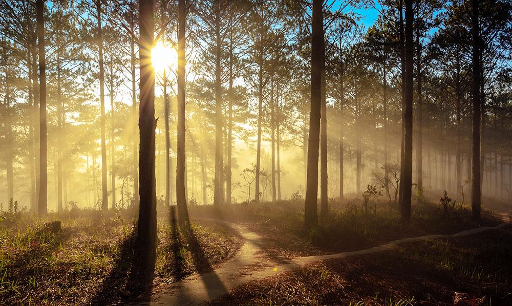 rừng thông đẹp