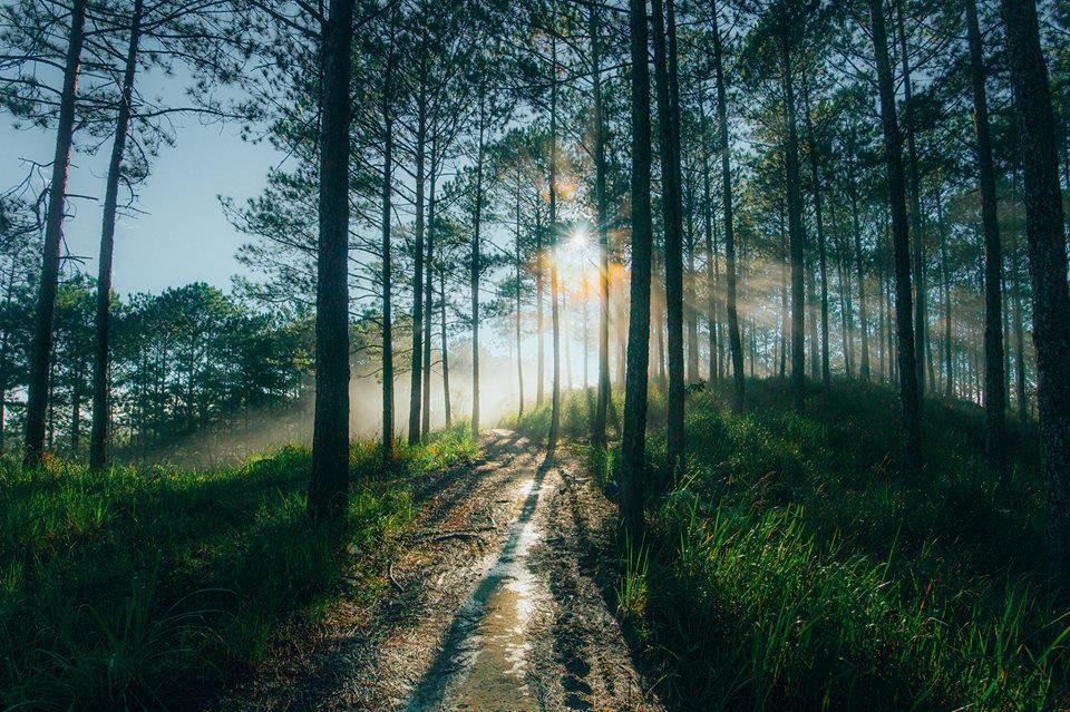 rừng thông trên đường đi đồi chè cầu đất