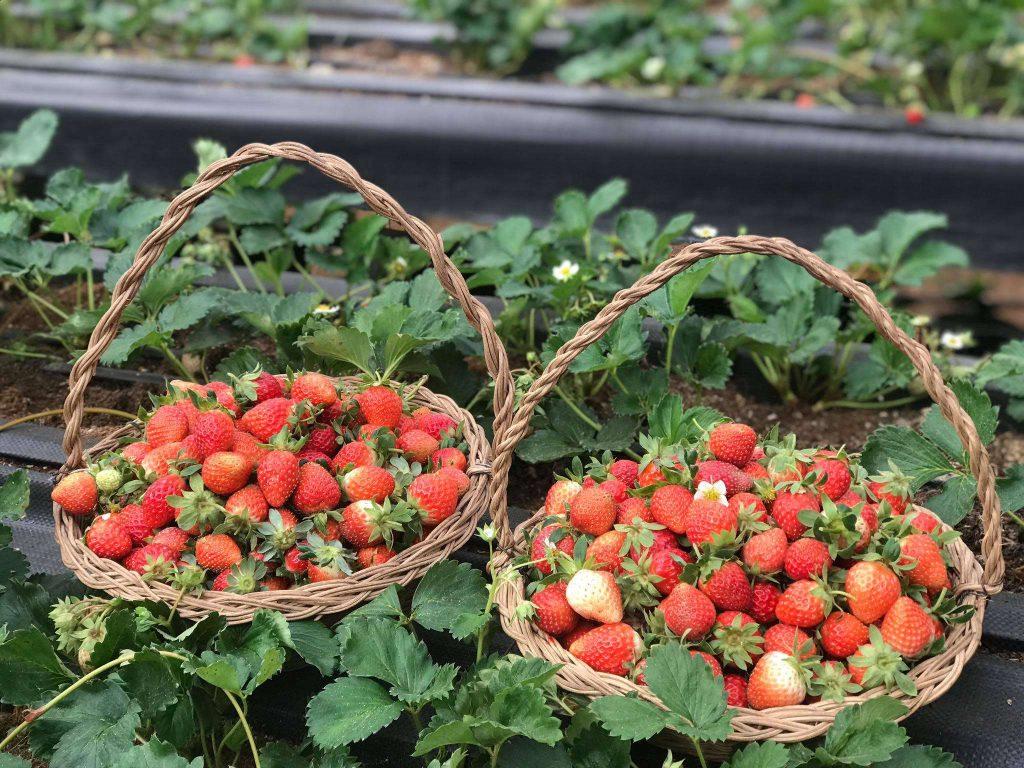 Vườn dâu tây đà lạt tháng 4