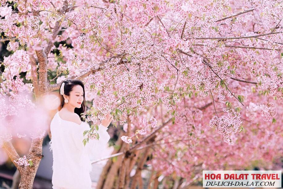 Hình ảnh hoa Mai Anh Đào - Du khách chụp