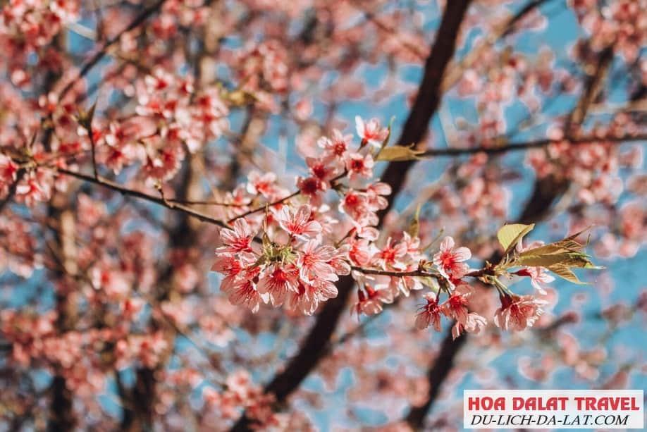 Hình ảnh hoa Mai Anh Đào