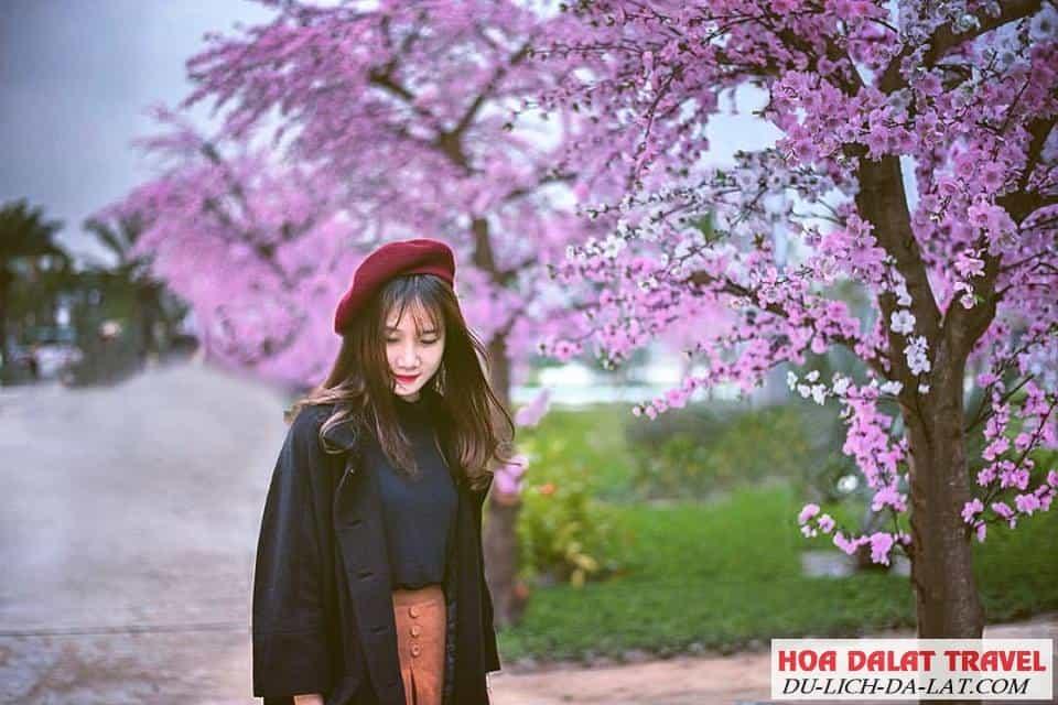 Rừng hoa Mai Anh Đào hồ Tuyền Lâm