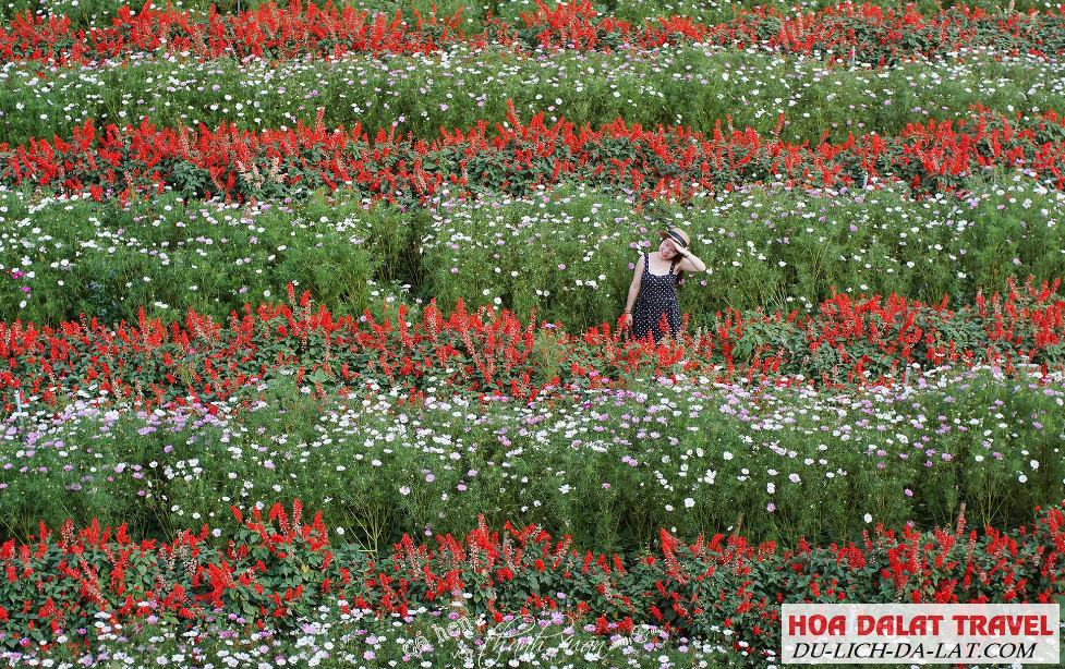 Tham quan F cánh đồng hoa Đà lạt